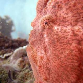 Redfrogfish %2814%29