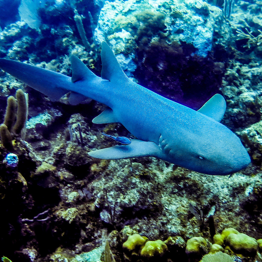 Shark 20  20nurseshark 20%28utila%29