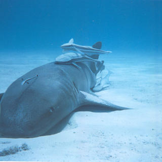 Nurse shark with remoras